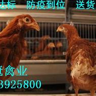 青年鸡 青年鸡批发 青年鸡厂家直销