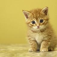 波斯猫来自地中海,血缘正统