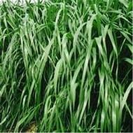 黑麦草牧草种子批发