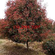 安徽合肥单杆红叶石楠3-5-7-9-10公分和丛生红叶石楠球