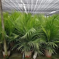 福建国王椰子供应商,自种国王椰子原生1年