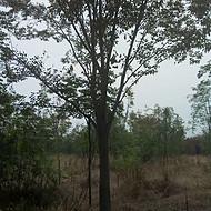 苗圃精品10公分红榉树价格 15公分红榉报价 20公分红榉树求购