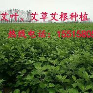 供应陈年艾草、新艾、陈艾、艾叶、艾草原材料的批发 量大优惠