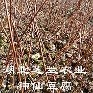 湖北利川神豆腐树苗豆腐设备  豆腐树苗价格