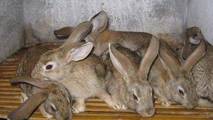 每天需饲料3两(折人民币3毛),小兔子断奶后45天可以出栏.