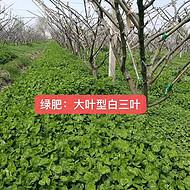 安徽绿肥光叶紫苕种子价格