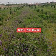安徽毛苕子种子绿肥种子供应商-海茗花卉