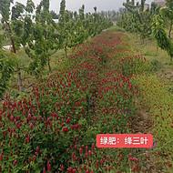 贵州红花草种子批发