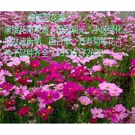 陕西波斯菊种子价格