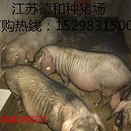 今日太湖猪价格江苏德和生猪养殖有限公司