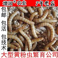 黄粉虫种虫虫卵包邮 养殖黄粉虫种苗
