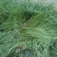 鼠茅草种子价格