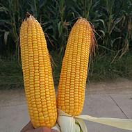 高产玉米种子耐高温玉米种子抗倒伏玉米鲁研23