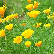 花菱草种子价格