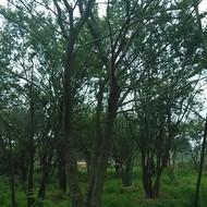 安徽合肥出售朴树,榉树,丛生朴树,黄山栾树,榔榆,三角枫,大叶女贞
