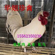 山东出售玩赏型观赏鸡 矮脚元宝鸡 观赏鸡种蛋 大型特种珍禽养殖场 厂家供应商 价格实惠