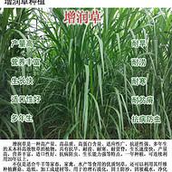 增润草新型皇竹草巨菌草台湾甜象草红象草桂牧一号高产牧草种节