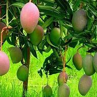 供应玉林芒果苗品种介绍  芒果树繁殖中心