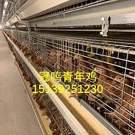 海兰褐青年鸡,海兰灰青年鸡,罗曼灰青年鸡,京红1号青年鸡,