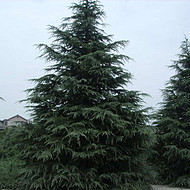 西藏雪松苗木就找长绿园艺千亩雪松基地供应 3-8米雪松直销 甘肃雪松陕西雪松直供品质优良