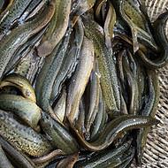 连云港泥鳅养殖专业泥鳅养殖泥鳅苗养殖技术