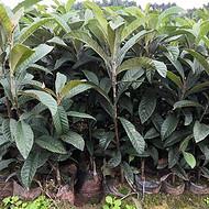 文山良种枇杷苗,良种枇杷苗培育基地, 文山良种枇杷苗批发