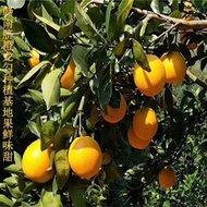 赣地,产脐橙龙勾发货站面向全国招代理加盟