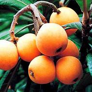 红河良种枇杷苗,良种枇杷苗培育基地, 红河良种枇杷苗批发