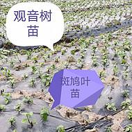 中原臭黄荆苗圃 叶可做豆腐 根、茎、叶可入药 信都苗木