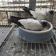 上海肉鸽,白条鸽,冷鲜乳鸽