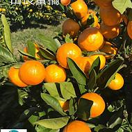 由良苗蜜橘由良蜜橘杯苗签订合同纯度保证顺丰包邮