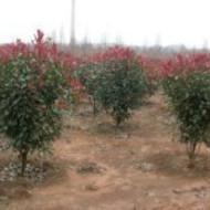 江西红叶石楠|红叶石楠生产基地|红叶石楠苗圃