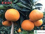 爱媛38号红美人苗柑橘苗签订合同纯度保证顺丰包邮