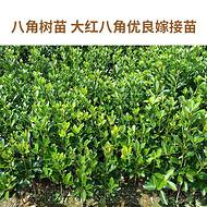 八角大茴香嫁接苗 质优大料苗 广西古龙八角之乡产地直销
