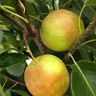 河南大果豫香酥梨容盛香酥梨新鲜当季现货可发