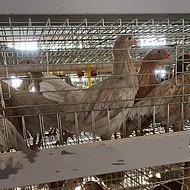 武汉60天海兰灰青年鸡羽毛光亮食欲旺盛 海兰灰青年鸡生长快抵抗力强
