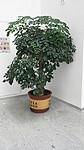 东莞花卉出租 室内植物租摆 汇安园艺绿植养护