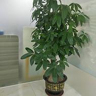 东莞室内植物租摆A办公室绿植养护A汇安花卉出租养护服务