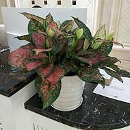东莞花卉出租 室内植物租摆 汇安园艺绿植租赁