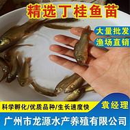 丁桂鱼苗 丁岁鱼苗销售 4-5公分价格优惠