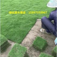 台湾草 台湾草皮价格 马尼拉草皮