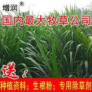 巨菌草种节批发包邮,购高产牧草种送技术,送生根粉