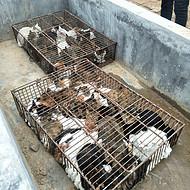 山东肆合肉猫养殖基地大量供应肉猫,狸花猫,田园猫