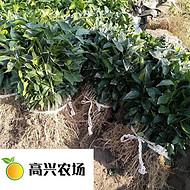 象山红美人柑橘苗正宗值得信赖 红美人柑橘基地
