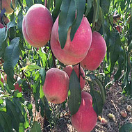 晚熟桃苗品种介绍 映霜红桃树苗价格