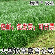 黑麦草种子包邮 特高冬牧70养殖多年生