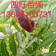 东北辽宁供应耐寒 火炬树 大树小苗价格合理规格齐全