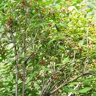 健身果种苗优质果树种苗 无核杈杷果种苗批发