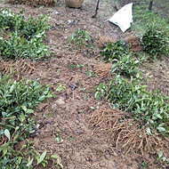 茶苗批发、茶树苗价格、北方茶苗基地常年供应