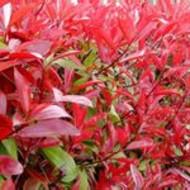 石楠苗批发陕西红叶石楠种植基地供应50-100厘米石楠绿篱苗 西安红叶石楠供应成活率高